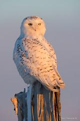 The golden hour (Earl Reinink) Tags: snow white owl snowyowl earlreinink winter otedtaadoa