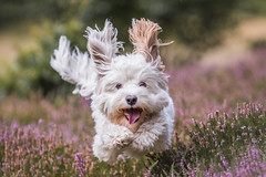 happy dog (Bea Antoni) Tags: happy canon outdoors sommer summer heide action haustier pet hund dog