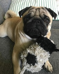 #Repost @kjelleddie ・・・ I have two big loves in my life. One of them is stupidmum but my true number one is Mr Cow. Me Cow is amazing and I love him like pancakes loves icecream. ❤️❤️❤️ #crazypants #dog #dogs #dogstagram #dogoftheday #pu (FluffWonderland) Tags: pugsnotdrugs repost squishyfacecrew petstagram pugstagram photooftheday dogoftheday pug obsessedwithpugs dogstagram dog food crazypants dogs pugsofinstagram darklordpug pancakes cow animals truelove love mum icecream pugs flatnosedogsociety pets