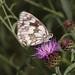 Marbled white on knapweed