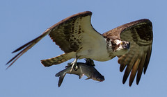 IMG_2044 Osprey with fish (cmsheehyjr) Tags: cmsheehy colemansheehy nature wildlife bird hawk osprey fishhawk raptor rappahannock virginia pandionhaliaetus