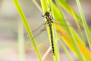 Southern-hawker...