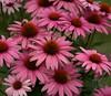 DSC09355 -1ConeFlowerPink (FanzFlames) Tags: lilies coneflowers blackeyedsusan sunflower butterflyweed clematis iris