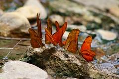 Costa Rica (joeksuey) Tags: costarica joeksuey haciendaguachipelin liberia butterfly insect julia rionegrohotsprings kaleidoscope bird puddling