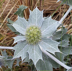 Sea holly (Eryngium maritimum) (shadowshador) Tags: sea holly eryngium maritimum neomura eukaryota archaeplastida plantae plant plants tracheobionta spermatophyta magnoliophyta magnoliopsida rosidae apiales apiaceae taxonomy systematists scientific classification biology botany wildlife life barmouth wales