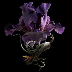 Bearded Iris & Tillandsia (Pixel Fusion) Tags: bearded iris tillandsia air plant flower flora nature macro nikon d7000