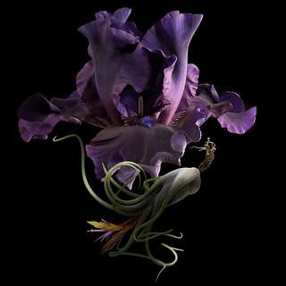 Bearded Iris & Tillandsia