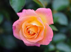 Day Breaker (Through Serena's Lens) Tags: eos6dmarkii canon colorful bright rose flower bokeh dof plant garden outdoor 7dwf flora
