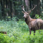 Red Deer Stag thumbnail