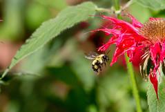 Bee + balm ((nature_photonutt) Sue) Tags: bee beebalm monarda bergamot horsemint oswegotea inmygarden ironbridgeontariocanada