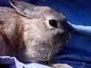 8 (Protty coniglio nano) Tags: coniglio conigli protty bunny bunnies rabbit rabbits kaninchen lapin coniglietti coniglionano prottyit coniglinani oryctolagus oryctolaguscuniculus