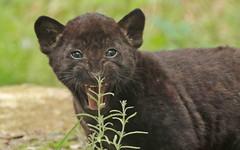 jaguar, born 28 6 2017 artis BB2A2497 (j.a.kok) Tags: jaguar blackjaguar zwartejaguar jaguarcub artis rica mowgli mammal zoogdier dier animal southamerica zuidamerika kat cat predator pantheraonca
