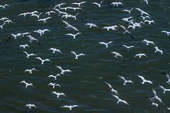 Elegant Terns in Cayucos California Summer 2017 (Atascaderocoachsam) Tags: terns
