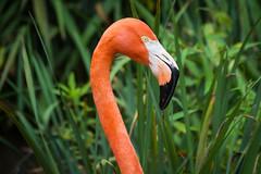 Caribbean Flamingo (joscelyn_p) Tags: flamingo bird pink colorful philadelphia philly philadelphiazoo phillyzoo zoo canon lightroom birds outside