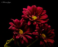 Three Red Mums 0805 Copyrighted (Tjerger) Tags: nature beautiful beauty black blackbackground bloom blooming blooms closeup daisies daisy flora floral flower flowers green macro plant portrait red summer three trio wisconsin yellow natural