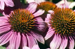 Coneflowers (Shotaku) Tags: garden flowers flower macro closeup purple plants plant blooms blooming outdoors echinacea