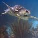 Bonaire 08.08.2017 - 056 loggerhead turtle