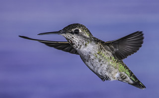 Female Anna's Hummingbird With Wings Spread Wide