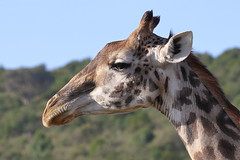 20170616_2424_Masai Mara_Girafe Masai (fstoger) Tags: kenya masaimara viesauvage wildlife safari girafe girafemasai masaigiraffe afrique africa