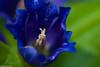 Schwalben_enzian-2 (Maximilian Ott) Tags: selten blau blüte alpen rare blue flower macromonday