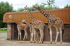 Rothschild's Giraffe (Giraffa camelopardalis rothschildi) (Seventh Heaven Photography) Tags: zahre murchison calf young baby kidepo meru giraffe animal giraffa camelopardalis rothschildi mammal chester zoo cheshire rothschilds nikond3200
