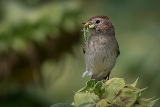 Field Sparrow, Cumberland County, PA [Explore 12 August 2017]