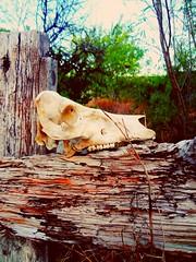°°Solo soy un eco del recuerdo,algo efímero, qué tal vez sólo podrás volver a visualizar por medio de un sueño o pesadilla.°° (ivethmendez86) Tags: cráneo huesos bones creepy garden textures madera nature miedo cool
