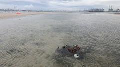 Abandoned net on Cyrene Reef, Aug 2017 (wildsingapore) Tags: cyrene reef threats fishing island singapore marine intertidal shore seashore marinelife nature wildlife underwater wildsingapore