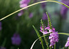 Blooms & Grass (Sarah Brigham) Tags: nikon nikond5200 sarah brigham throckmorton throck photography photos summer photo picture pix image ohio usa america closeup macro zoom dof nature garden flower flowers floral fleur purple lavender violet lilac green bright color colorful pretty beautiful leaves bokeh depthoffield natural outdoors outside naturallight sunlight