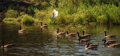 Guardian Angel (TuthFaree) Tags: elements hss slidersunday waterfowl canadagoose pond lake grass nature birds ga georgia swga topaz postprocessed flickrelite