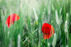Papaveri (SDB79) Tags: natura papaveri grano fiori flora campagna