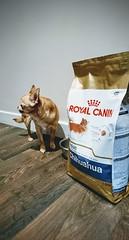 Still food...dog food (DavidSteele31) Tags: dog littledog chihuahua dogfood royalcanin kitchen foodanddrink small tiny