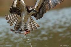 Cat for breakfast - yumm (Earl Reinink) Tags: fish fishing hunting prey food water bird animal osprey nature naturephotography earl reinink earlreinink nikon nikond5 600mm irudhazdia catfish