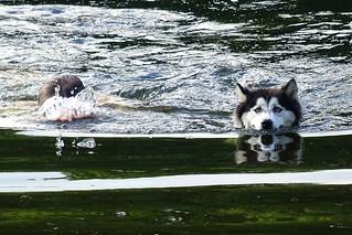Swimming husky