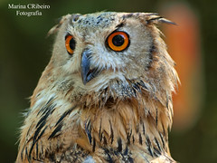 Bufo-Real (Bubo bubo) (Marina CRibeiro) Tags: portugal penafiel parque bufo ave nocturna bird