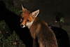 Elusive Mr Fox (stellagrimsdale) Tags: fox dark garden visitor red eyes ears nose elusive cute urban face animal mammal
