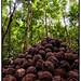 Brazil nut (Bertholletia excelsa) fruits