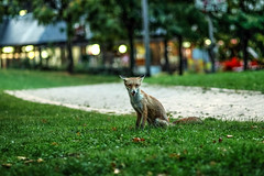 urban fox at dusk (I was blind now I see!) Tags: fox urban walthamstow city london animal mammal pest cute shy bokeh canoneos80d sitting watching highiso night evening dusk 85mm f18