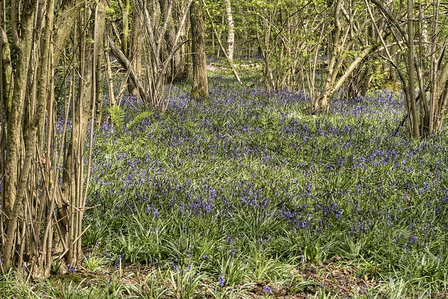 Bluebell wood Meriden