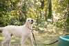 frodo-service-dog-in-training-2 (Little Earthling Photography) Tags: dog labradoodle water servicedog boy summer