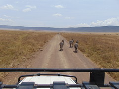 DSC00307 (francy_lioness) Tags: safari jeep animals animali ippopotami leone savana gnu elefante iena pumba tanzaniasafari ngorongorocratere gazzella antilope leonessa lioness facocero