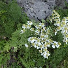 Tanacetum macrophyllum (Waldst. & Kit.) Sch. Bip. (Peter M Greenwood) Tags: tanacetummacrophyllum tanacetum macrophyllum