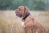 1C6A6526 (andreyshkvarchuk) Tags: dog doguedebordeaux mastiff