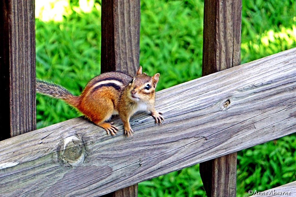 The Worlds Best Photos Of Chipmunk And Easternchipmunk