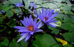 flower 1051 (kaifudo) Tags: sapporo hokkaido japan botanicalgarden flower reflection 睡蓮 札幌 北海道 北大植物園 nikon d810 nikkor afs 1424mmf28ged 1424mm waterlily