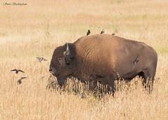 Hitch-hikers (sbuckinghamnj) Tags: wyoming grandteton grandtetonnationalpark nationalpark wildlife bison buffalo mammal