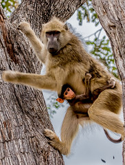 Yellow Baboon, Hanging on for Dear Life! (donnatopham) Tags: baboon campxanakaxa botswana
