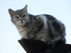 FAUX-SEMBLANT (Éric…Mon chemin ⊰♥) Tags: cat kitty animaldomestique canon canonixius nature animaux ciel sky juillet july 2017 summer portrait light travel photography