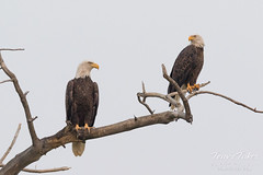 Picture perfect pair of Bald Eagles