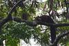 malabar-giant-squirrel (SMUKHERJEE-1974) Tags: squirrel malabargiantsquirrel silentvalley westernghats